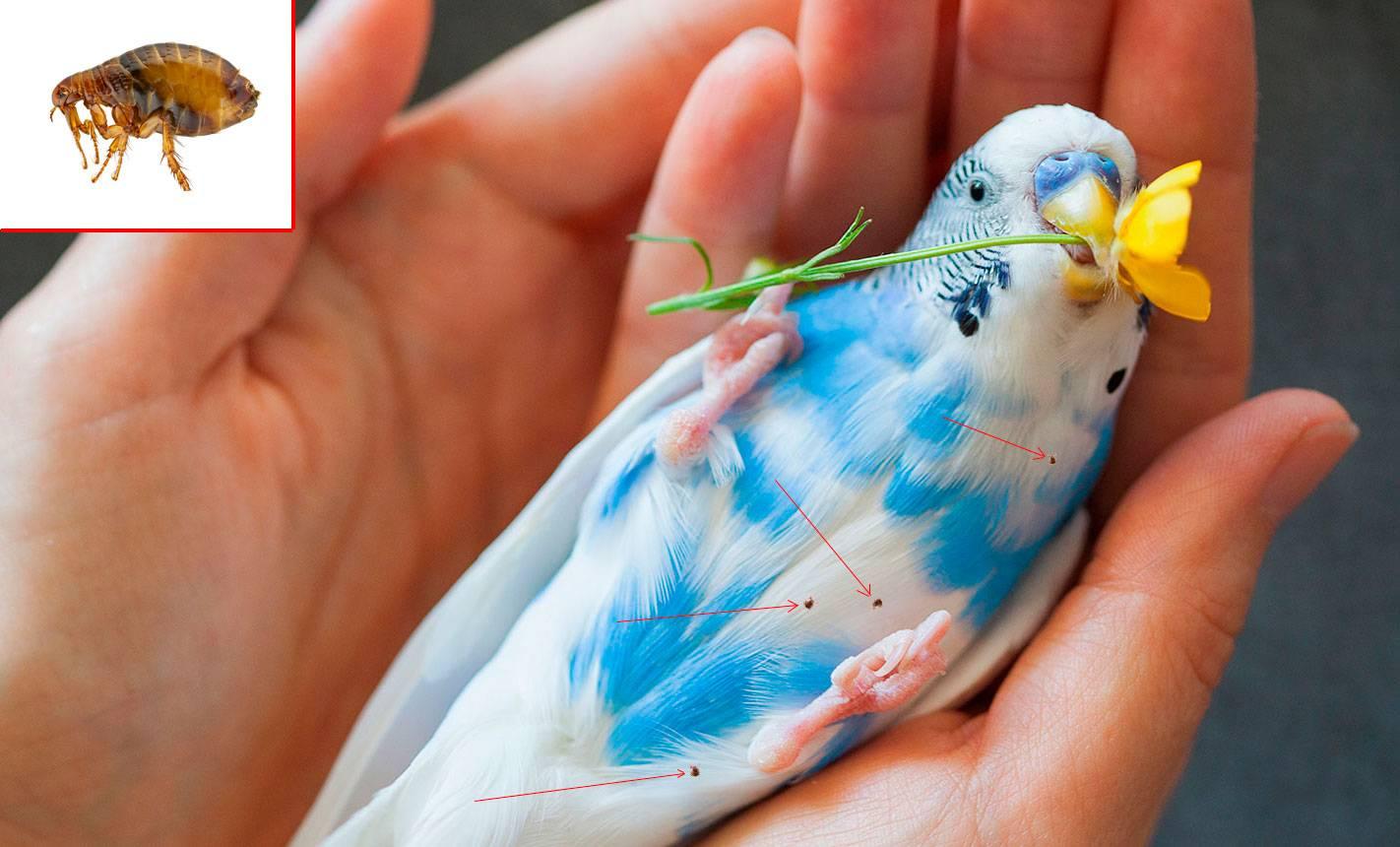 Блохи у волнистых попугаев: бывают или нет, симптомы, как бороться и опасны ли для человека