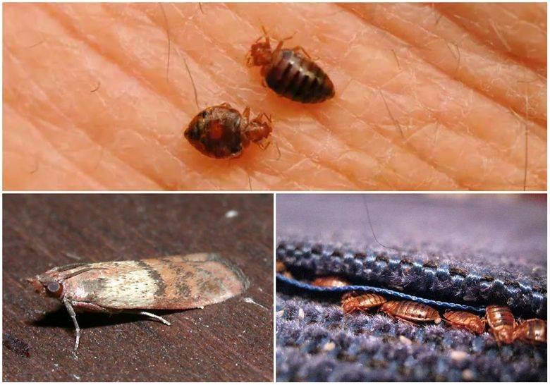 Как избавиться от жука-кожееда в доме и квартире