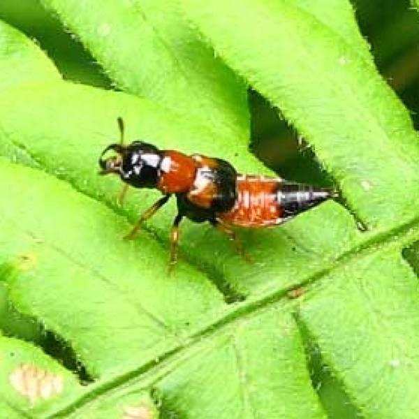 Красный жук – вредитель лилий, чем обработать