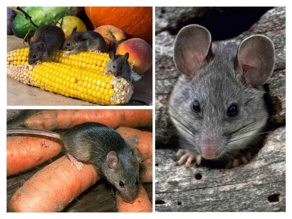 Как избавиться от мышей на даче навсегда: чем бороться на садовом участке, огороде, теплице и в доме, самые эффективные способы, отзывы