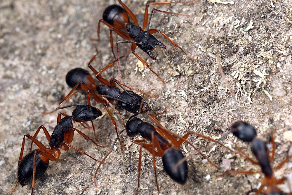 Чёрные муравьи древоточцы