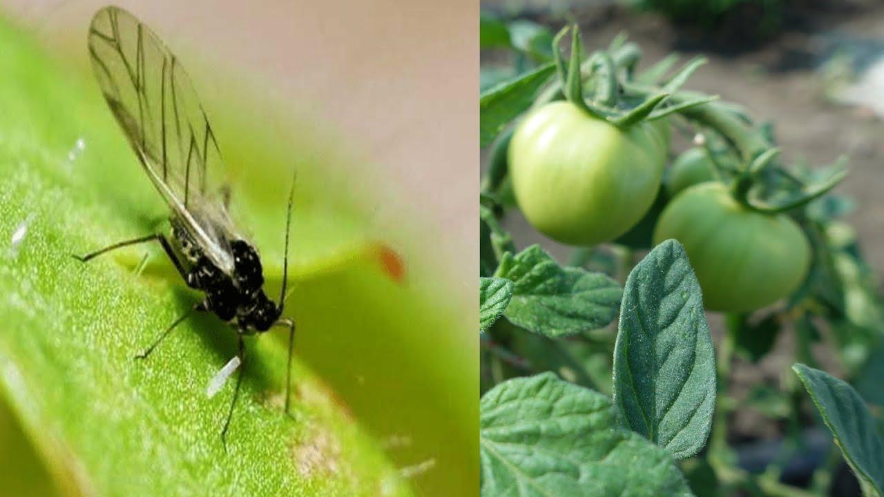 Белые мошки на листьях огурцов: что за вредитель, причины появления и методы борьбы
