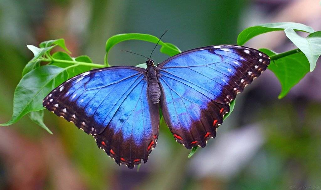 Морфморфо дидиус – голубое чудо тропиков
