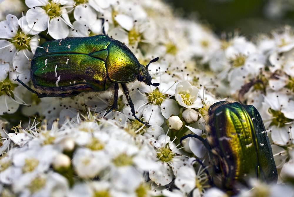 Нашествие жука: бронзовка мелкая зеленая и методы борьбы с ней
