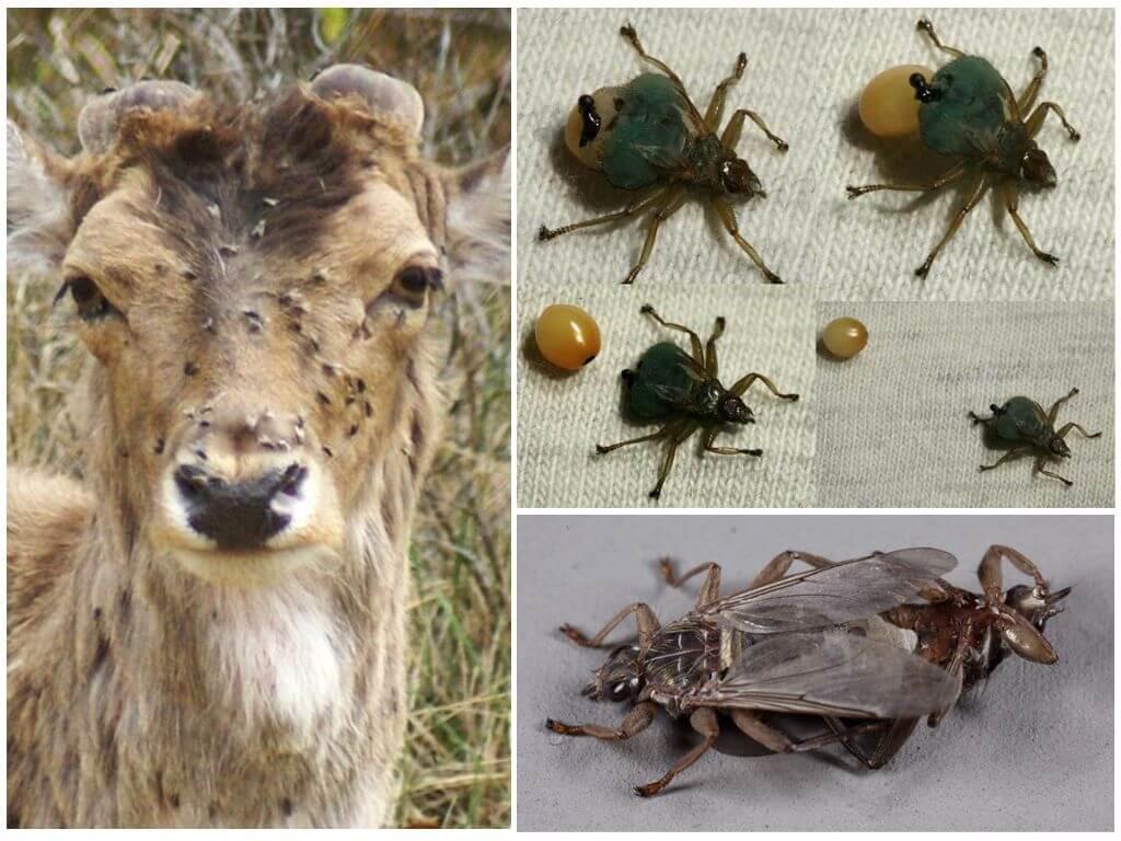 Лосиная муха вошь укусила собаку. места обитания лосиной мухи, опасность и вред
