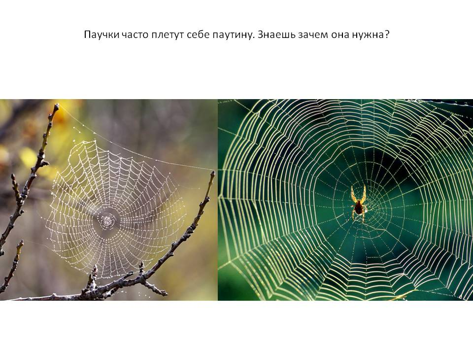 Паутина паука-птицееда: как плетут