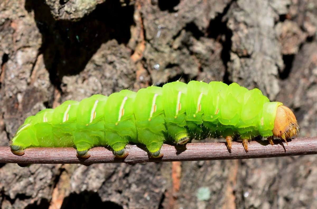 Гусеница - описание, виды, характеристика личинок насекомых. цикл превращение в бабочку