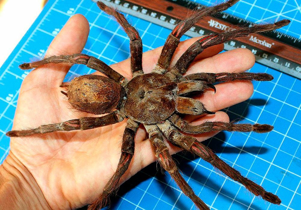 Топ-10 крупнейших пауков в мире