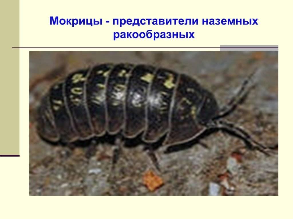 Мокрица насекомое