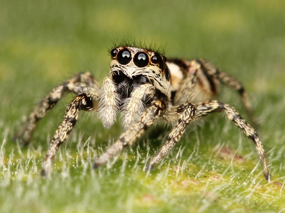 Королевский паук-скакун