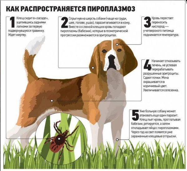 Анализ крови у собак при пироплазмозе: виды анализов, что они показываю