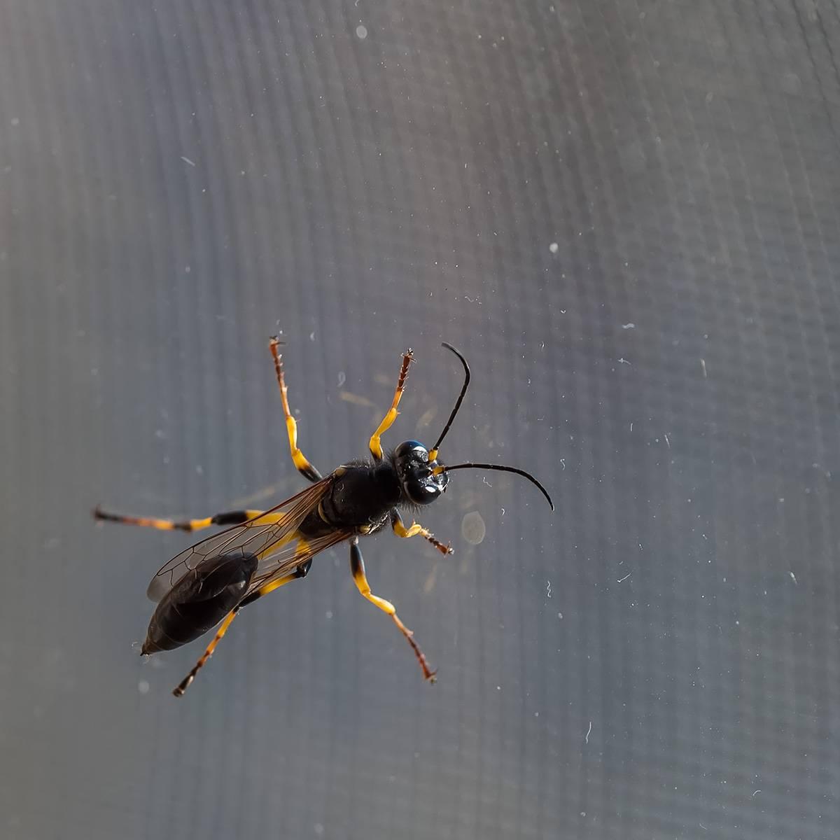 Черная оса – жалящая хищница, последствия укуса для человека