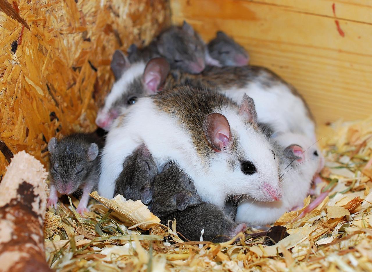 Как размножаются мыши: сколько мышат рожает мышь за раз, как часто?