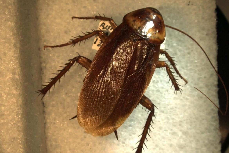 Летающие тараканы - правда это или нет?