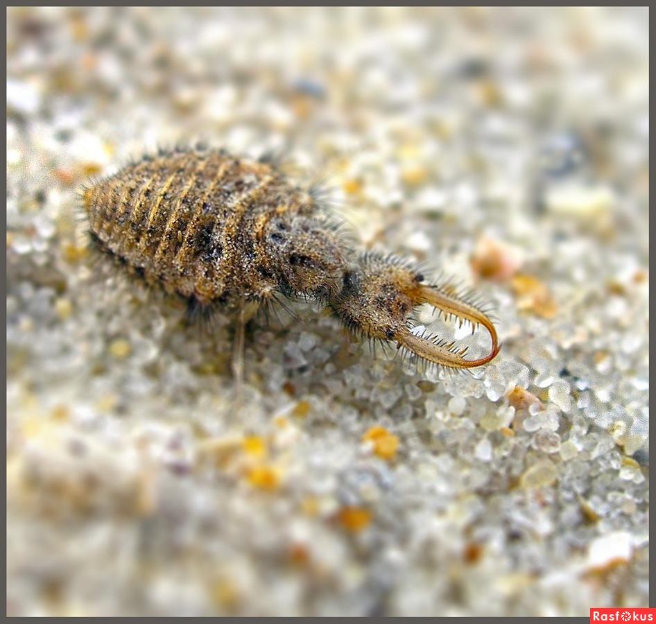 Муравьиный лев обыкновенный. муравьиный лев обыкновенный – хищник песчаных берегов