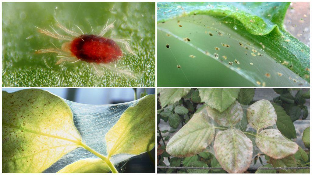 Средства борьбы с тлей на комнатных растениях: жасмине, розе, цикламене