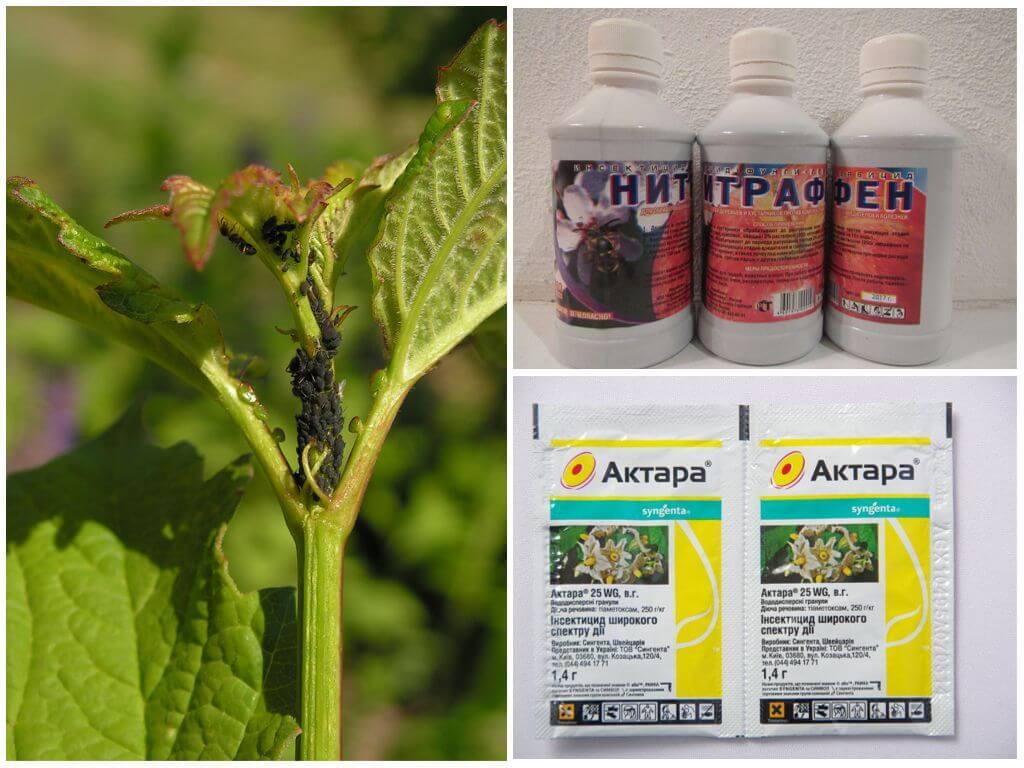 Чем обрабатывать малину от вредителей и болезней