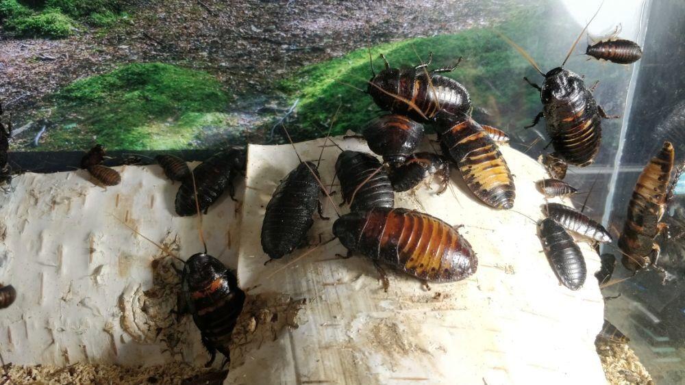 При какой температуре гибнут тараканы и их яйца