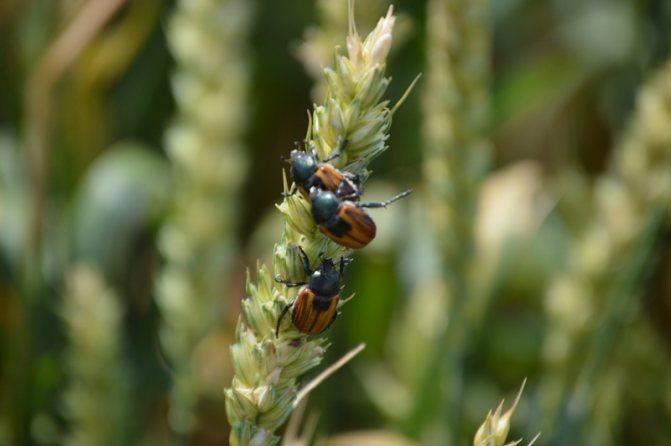 Хлебный жук вредитель меры борьбы, как избавиться от хлебного жука - пропозиция
