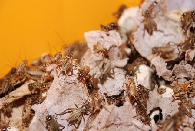 Аргентинский таракан blaptica dubia (блаптика дубия) содержание, разведение