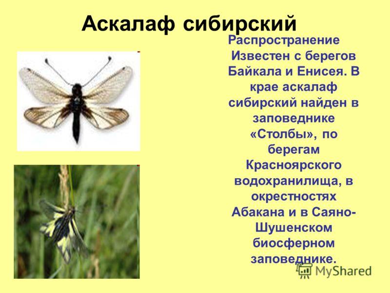 Описание и фото крымского сверчка
