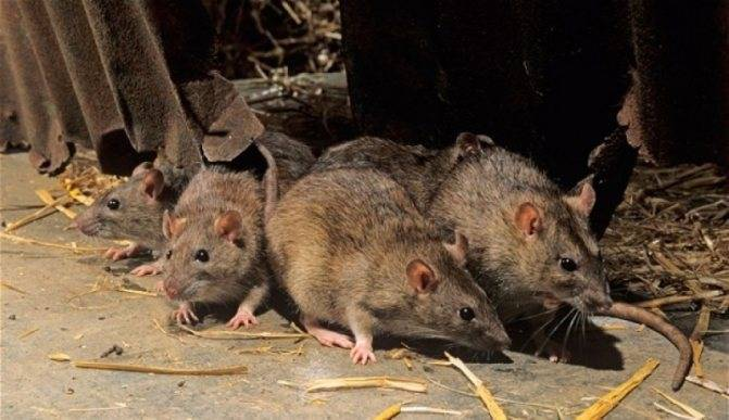 Некоторые правила избавления от грызунов. чем мышиный помет отличается от крысиного?