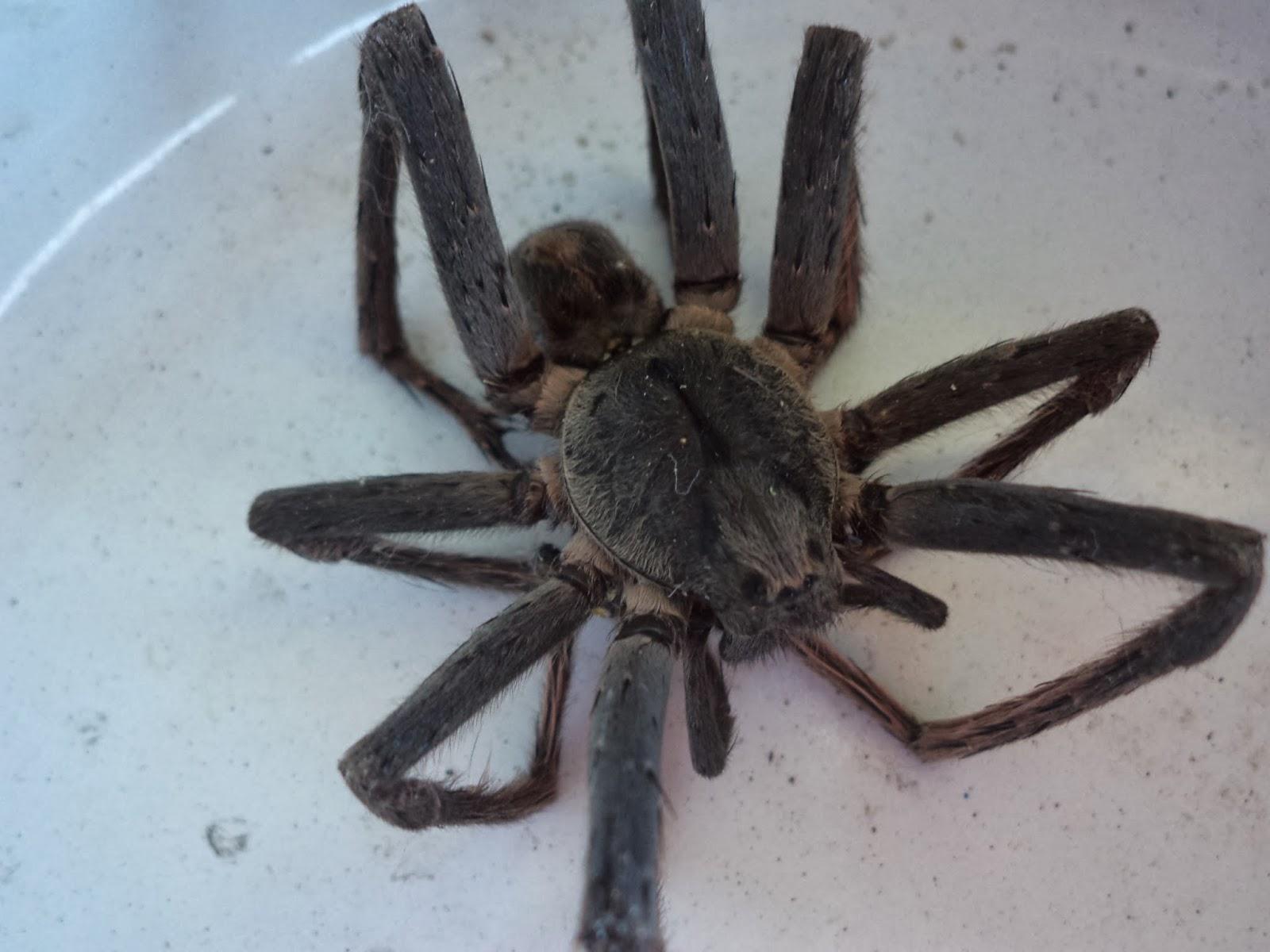 Бразильский странствующий паук (банановый, блуждающий, паук-солдат): фото и описание, последствия укуса