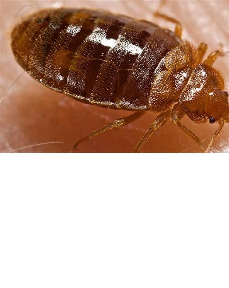 Какие болезни переносят постельные клопы - все про паразитов