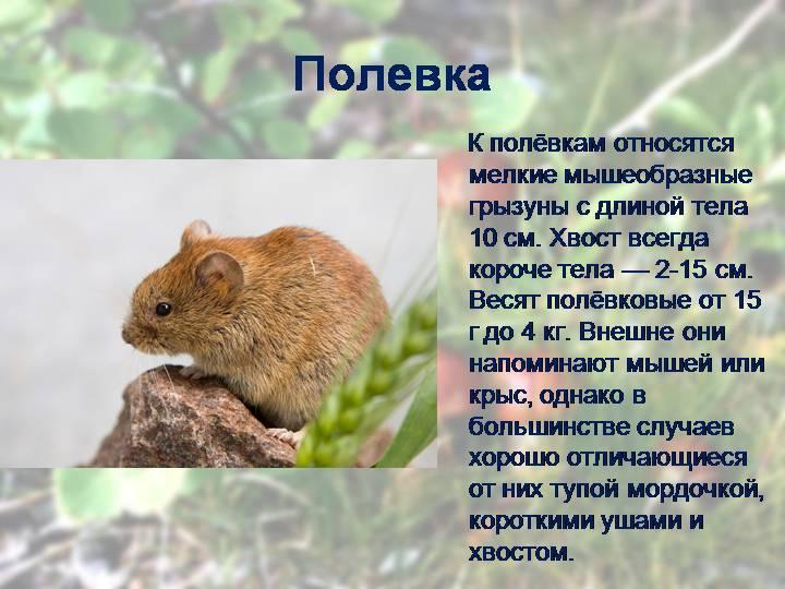 Полевая мышь (полевка): описание, чем питается мышь и как выглядят, фото