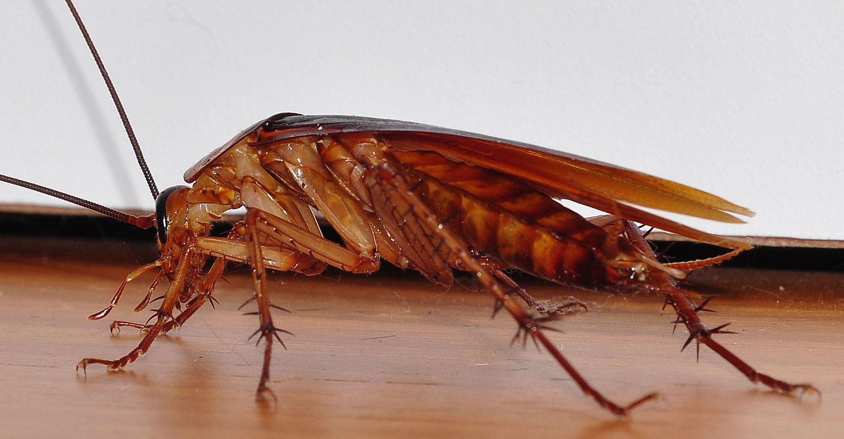 Виды тараканов, как они выглядит, сколько и где живут?