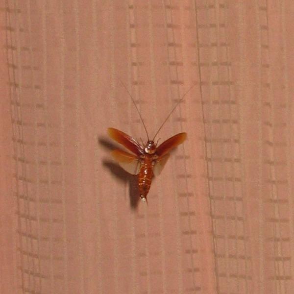 Тараканы летают ли или нет