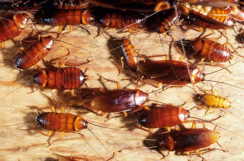 К чему снятся тараканы много и живые - приснились тараканы женщине, мужчине, трактовка сонниками
