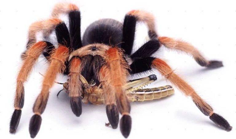 Паук тарантул и уход за ним