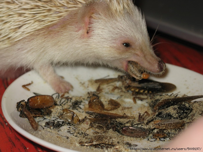Ежи едят мышей