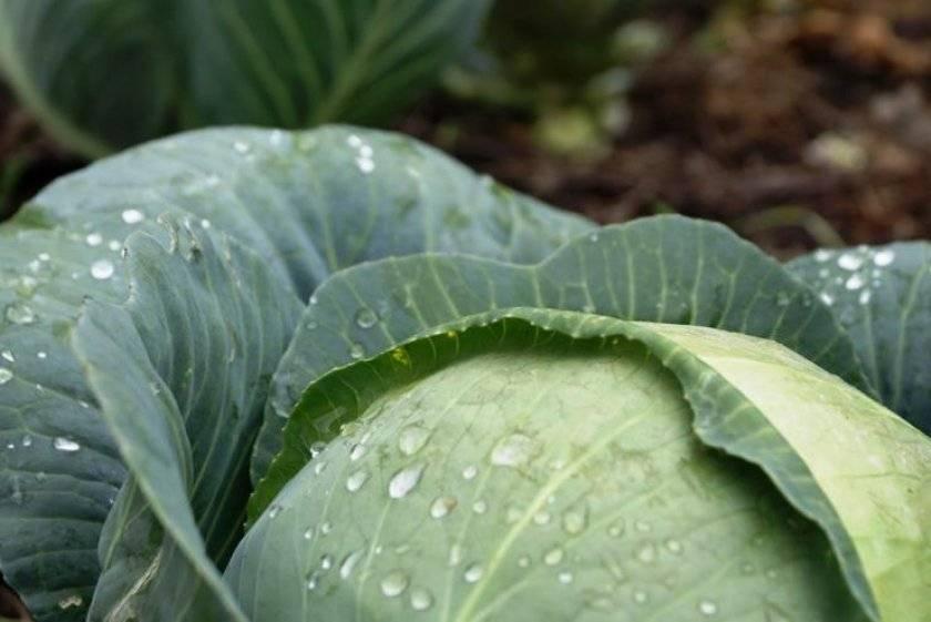 Как быстро избавиться от гусениц на капусте: проверенные методы