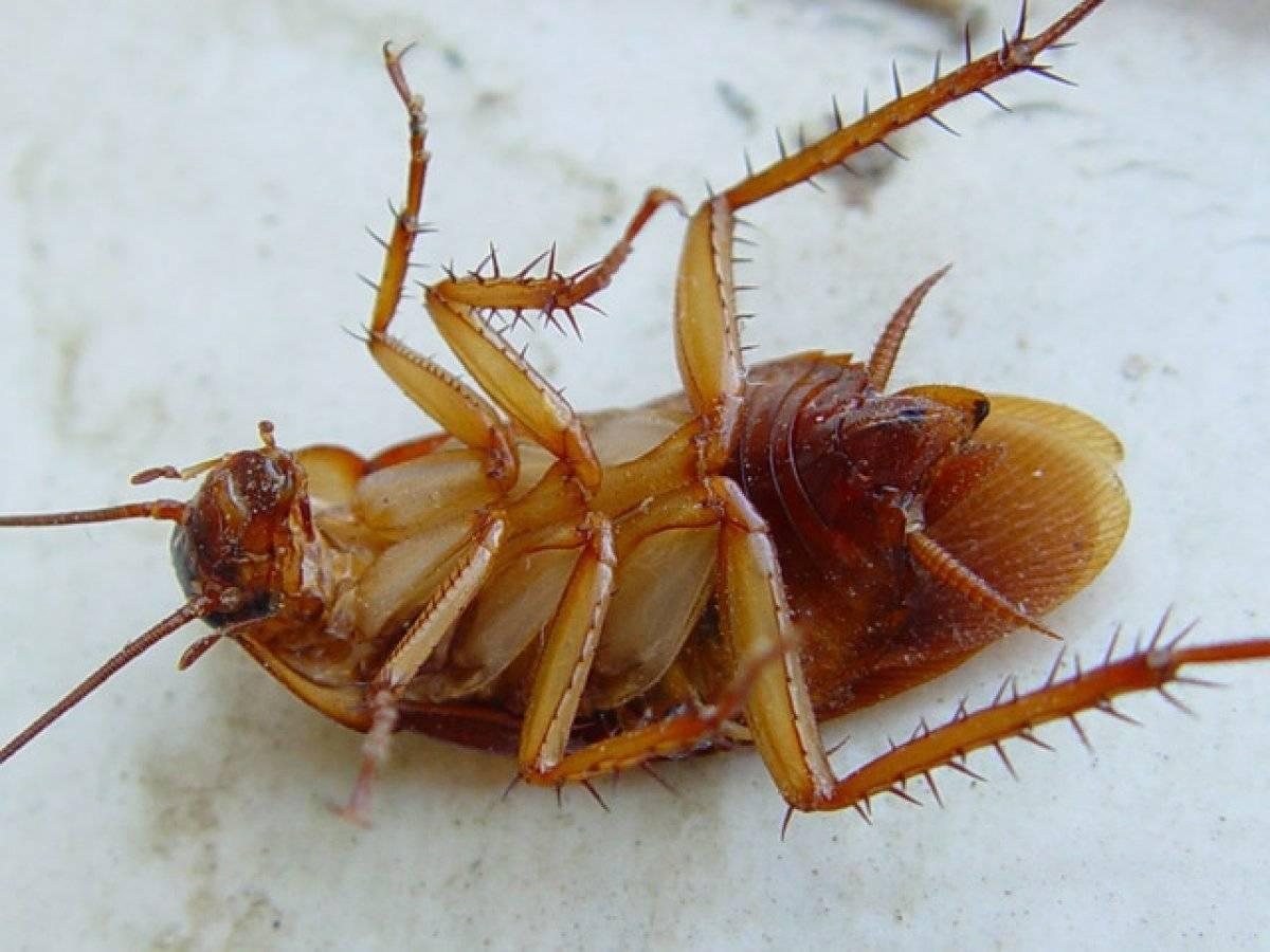 Где тараканы живут в домашних условиях и как их обнаружить