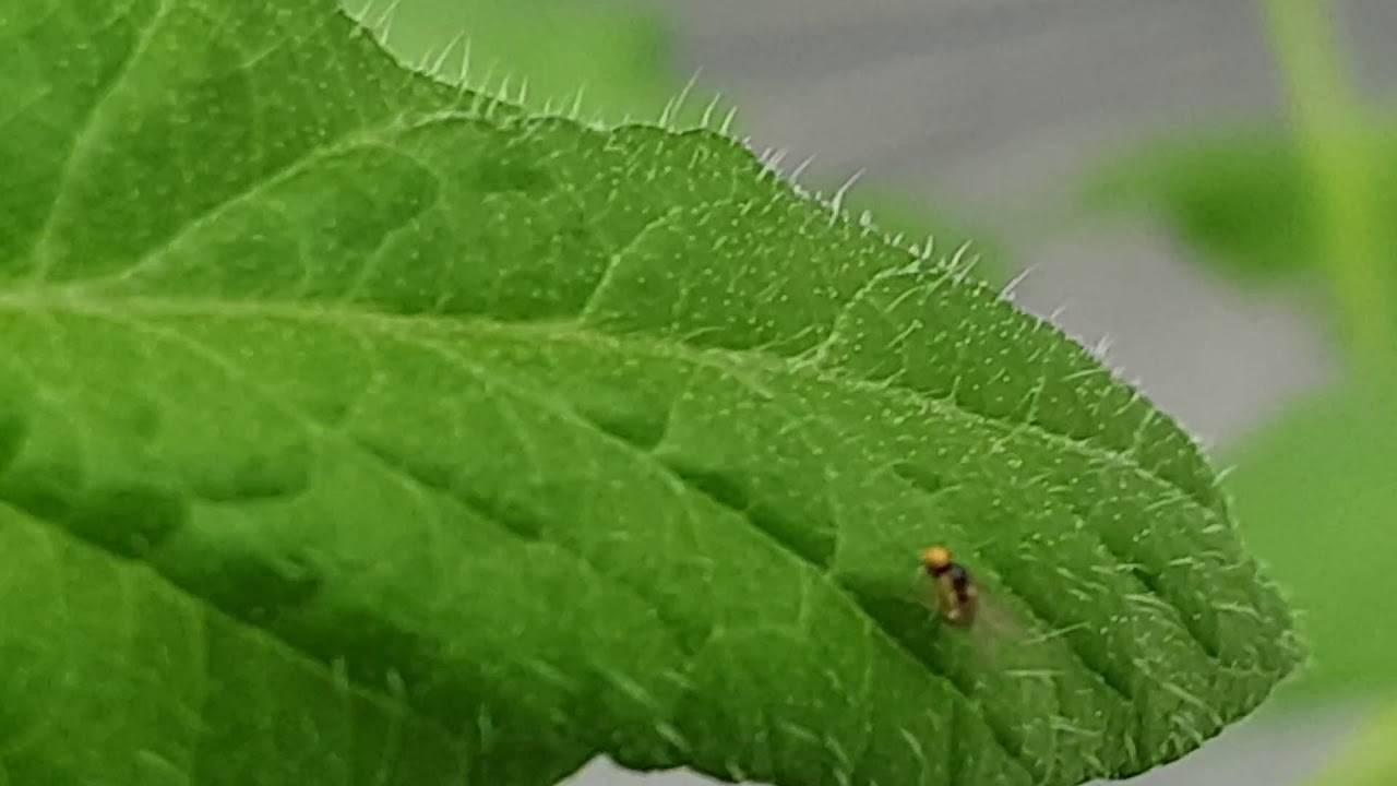 Белые мошки на помидорах: подбираем эффективный препарат