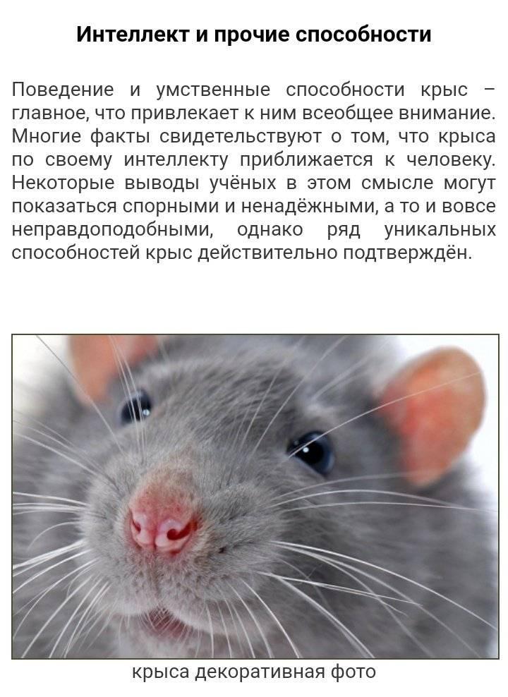 Как вывести крыс в частном доме за один день?