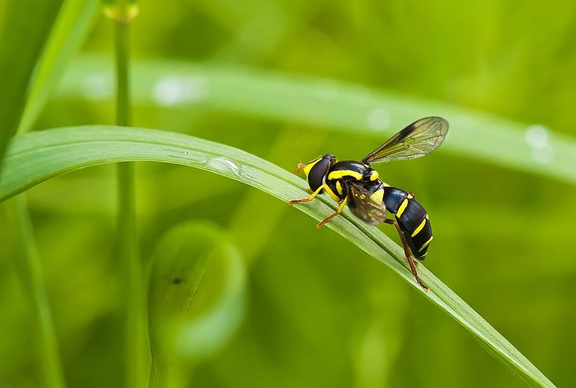 Пчела плотник (черный шмель) с синими крыльями - описание, фото