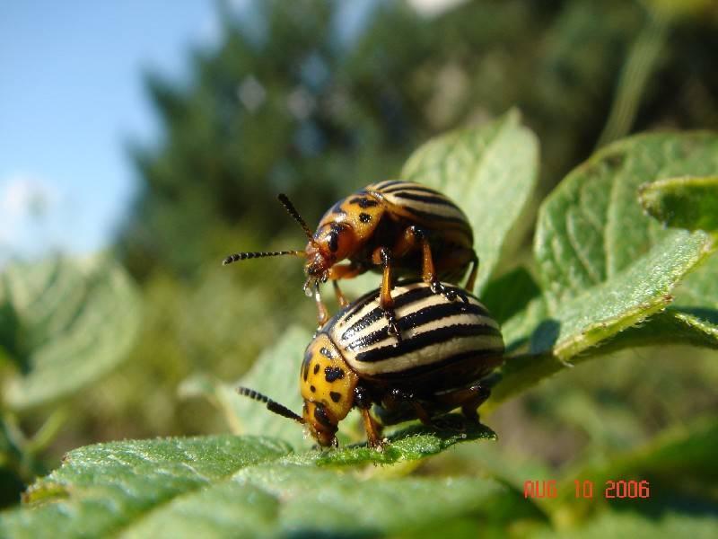 Колорадский жук: как избавиться, эффективные народные средства
