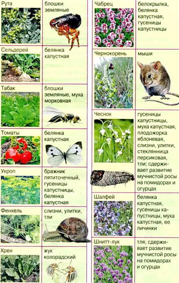 Растения, отпугивающие комаров: 15 лучших вариантов – 4 сезона огородника