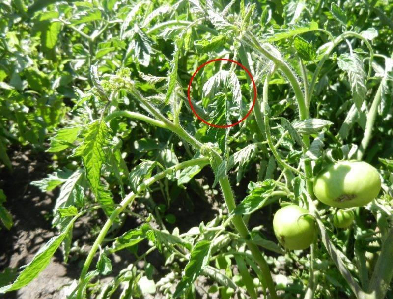 Тля на помидорах: как бороться народными средствами в открытом грунте и теплице
