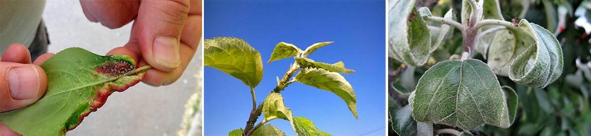 Как избавиться от тли на деревьях (яблоня, слива, черёмуха и др): обработка, народные средства, чем лечить