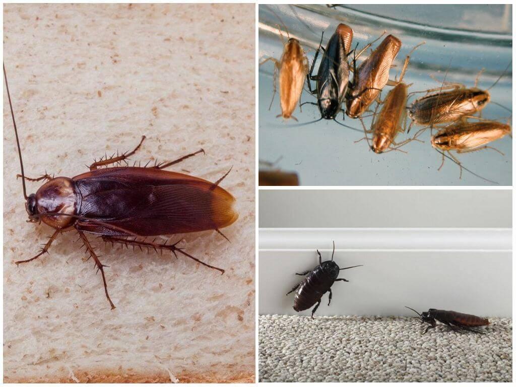 Кириллица  | почему тараканов называли прусаками
