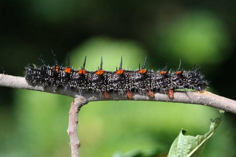 Волосатые гусеницы (мохнатые) - фото и описание