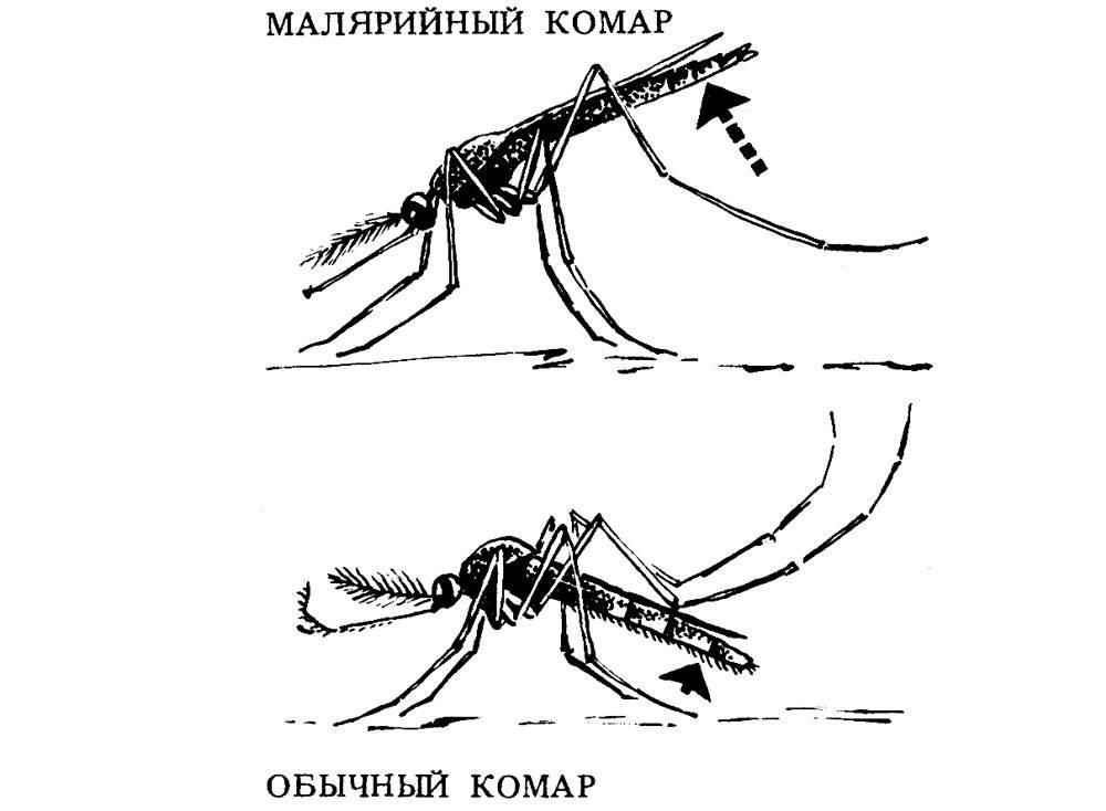 Малярийный комар или анофелес: как выглядит, где обитают, чем опасны