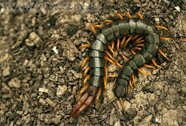 Укус сколопендры крымской — насколько опасен для человека?