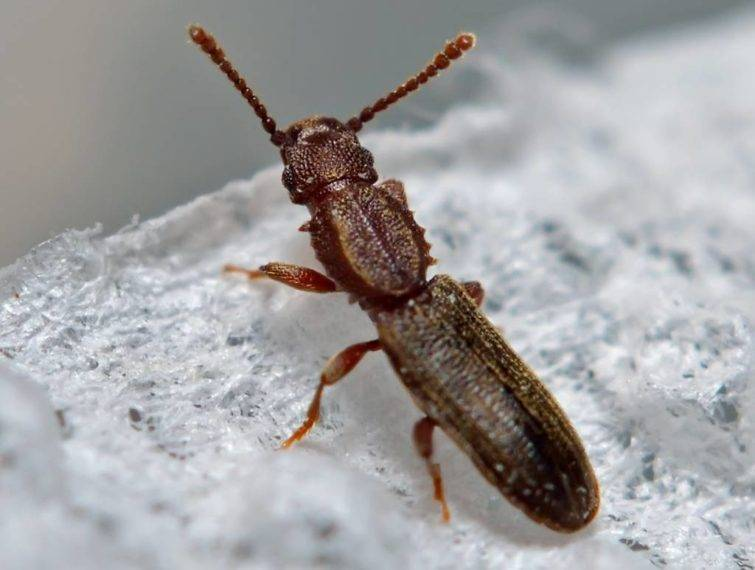 Может ли мукоед укусить человека. жук-мукоед: как избавиться от паразита. как выявить пищевую моль