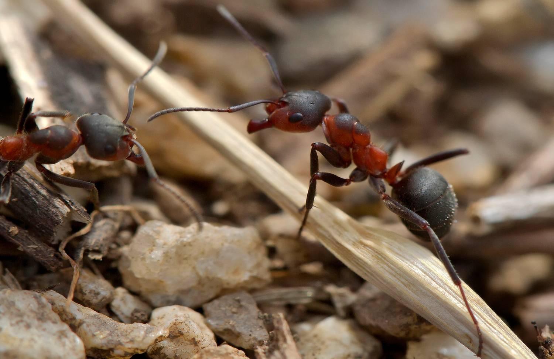 Луговой муравей – описание, обитание, интересные факты