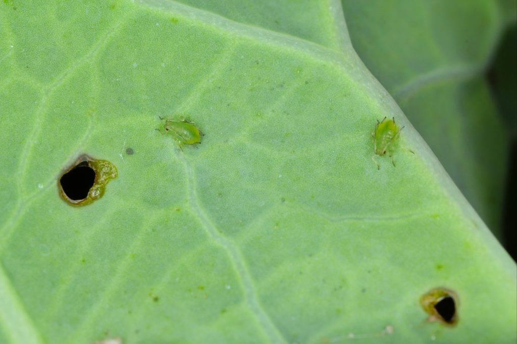 Как бороться с капустной тлей  — самые эффективные методы